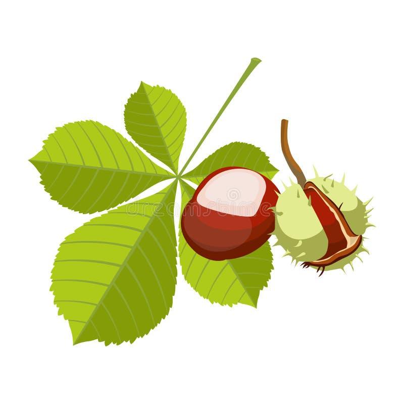 Kastanj som isoleras på vit bakgrund Vinous rödbrun frukt I vektor illustrationer