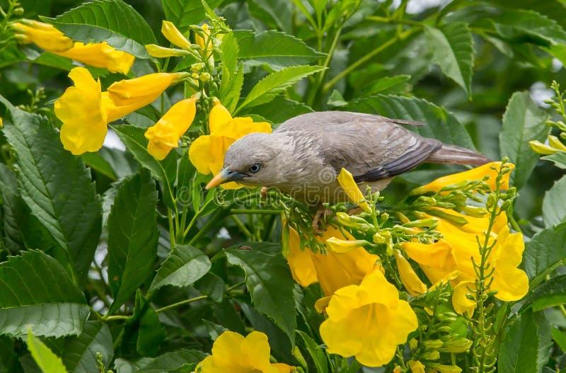 Kastanj-tailed Starling Sturnia malabarica royaltyfri foto