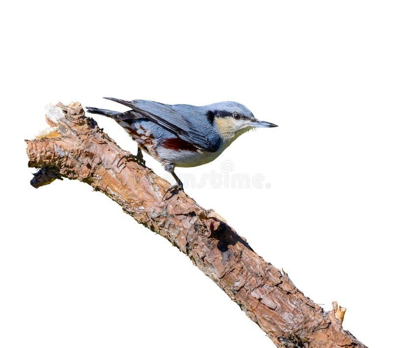 Kastanj-vädrad nuthatch- eller Sittanagaensis, fågel som isoleras med vit bakgrund fotografering för bildbyråer