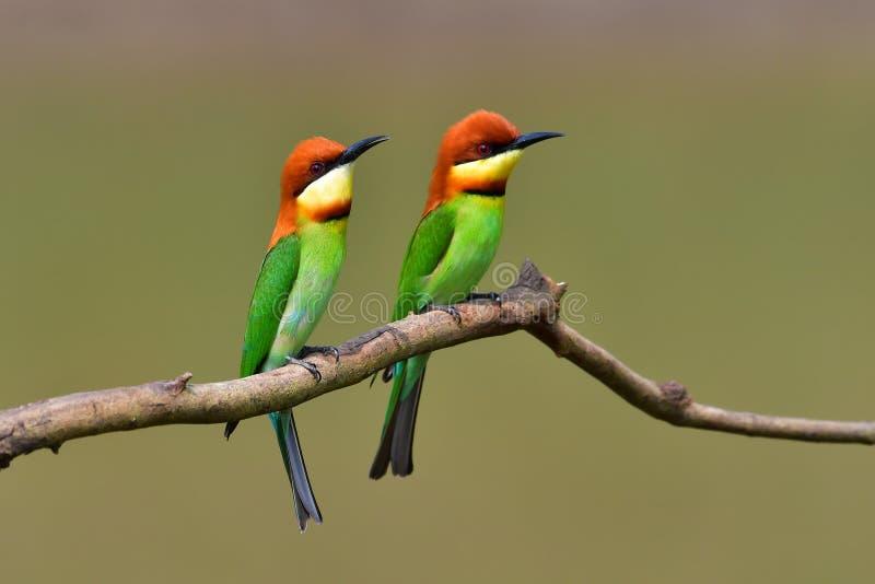 Kastanje-geleide bij-Eter Vogel stock foto's