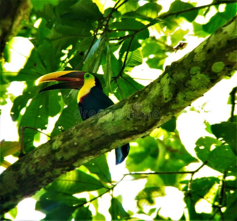 Kastanje-Mandibled toekan in het Nationale Park dat van Carara wordt bevlekt stock afbeeldingen