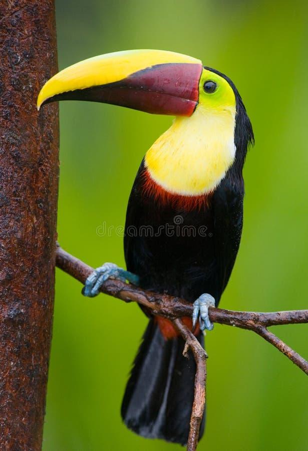 Kastanje-Mandibled Toekan, van Midden-Amerika. stock foto's