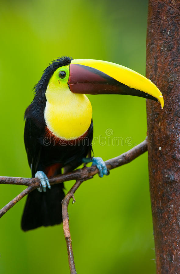 Kastanje-Mandibled Toekan, van Midden-Amerika. stock foto