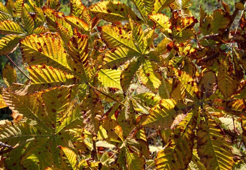 Kastanjebladeren in de herfst royalty-vrije stock afbeelding