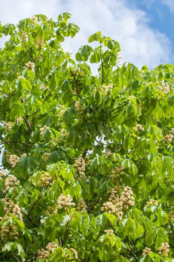 Kastanjebloemen Dichte omhooggaand van de takkastanje Witte kastanje flowe royalty-vrije stock afbeeldingen