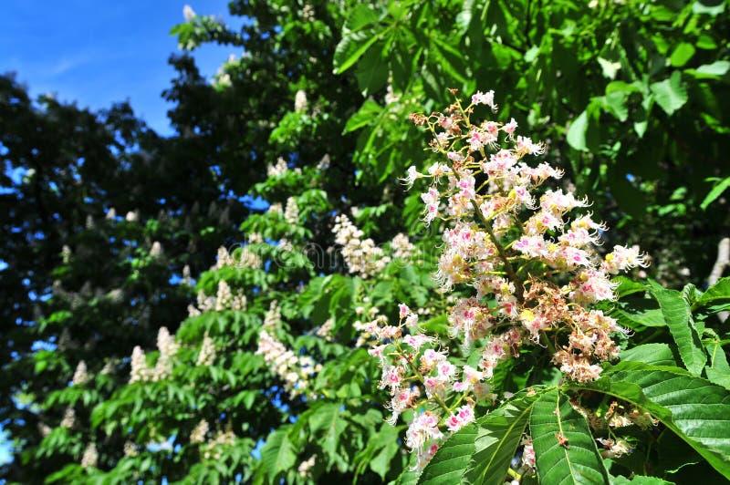 Kastanjebrun Aesculus Hippocastanum blommor för Häst-kastanj Conkerträd, blad arkivfoto