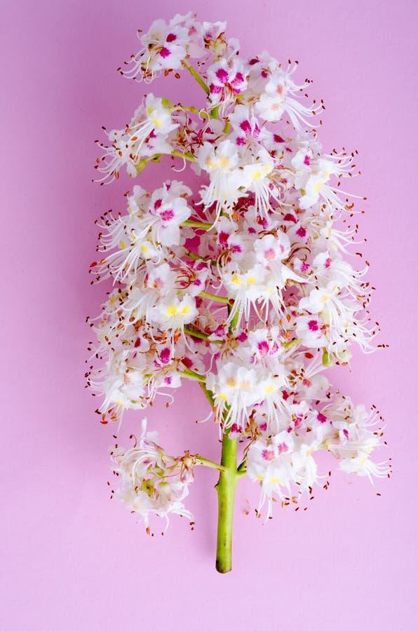Kastanjebrun filial med sidor och blomman på ljus bakgrund arkivfoto