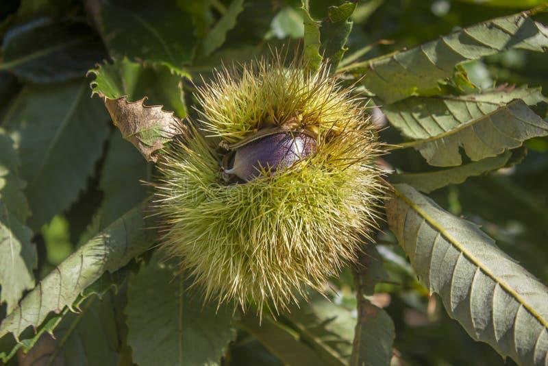 Kastanjebrun frukt på trädet royaltyfri foto