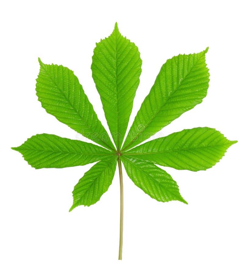 kastanjebrun grön leaf royaltyfria bilder