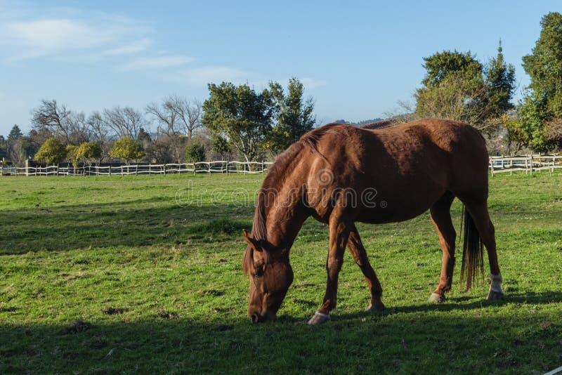 Kastanjebrun härlig häst som äter grönt gräs i en lantgård royaltyfri foto