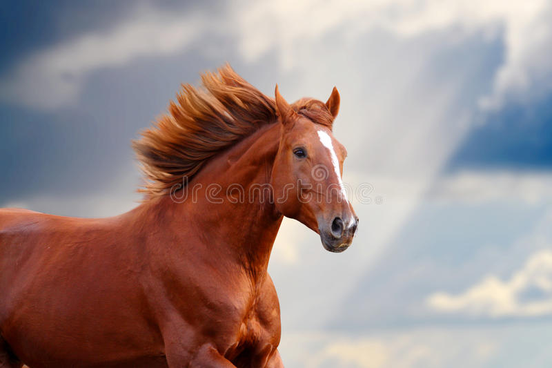 kastanjebrun häst royaltyfria foton