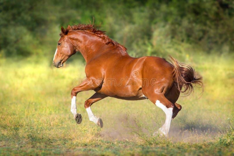 Kastanjebrun häst i rörelse royaltyfri fotografi