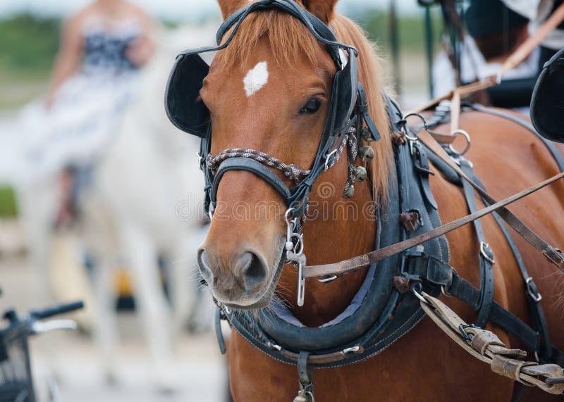 Kastanjebrun häst i vagn fotografering för bildbyråer