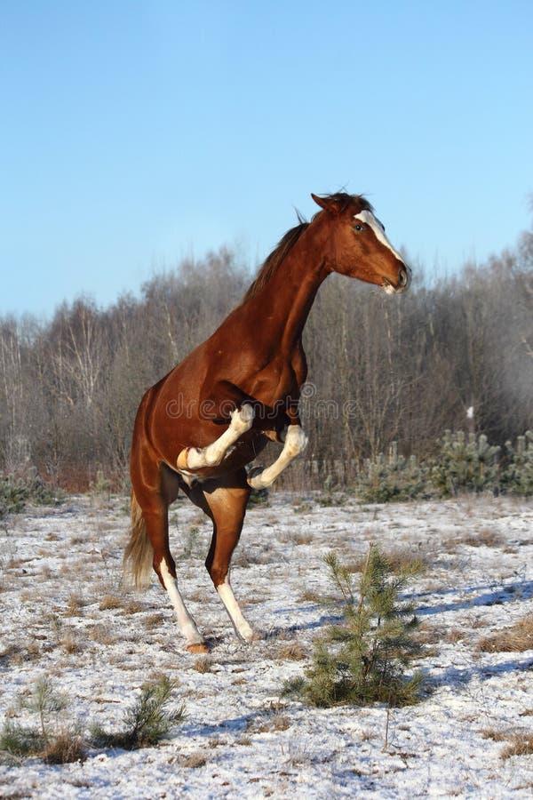 Kastanjebrun häst som fostrar i vinter royaltyfri fotografi