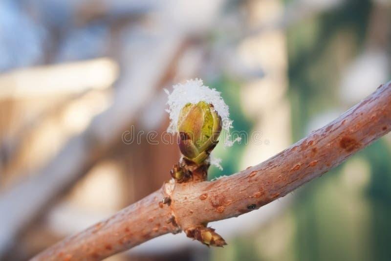 Kastanjebrun knopp för vår på filialen under snöhatten Komma snart påskfoto av det blommande trädet Frostig otta i vår arkivfoton