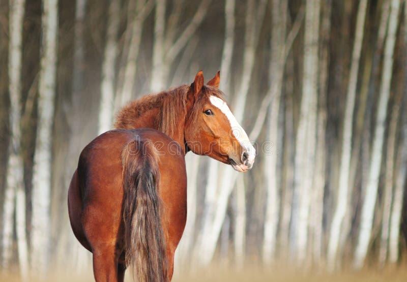Kastanjebrun stående för utkasthäst med björkträd bakom royaltyfria bilder