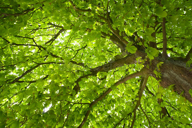 kastanjebrun tree royaltyfri foto