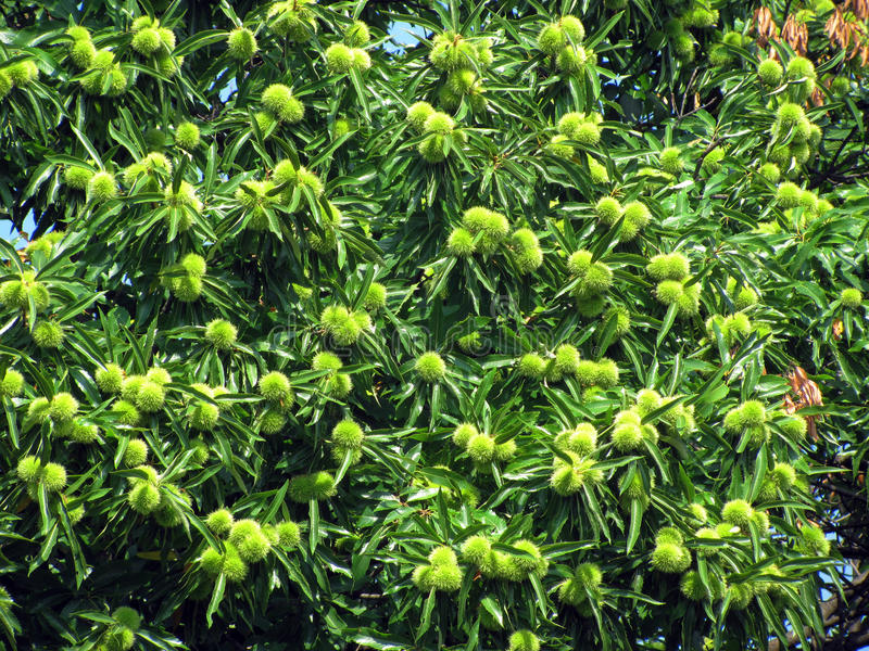 kastanjebrun tree royaltyfri bild