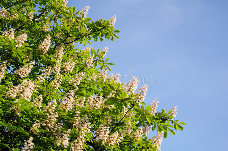 kastanjebrun tree royaltyfria foton