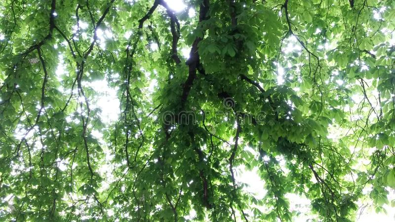 kastanjebrun tree under royaltyfri bild