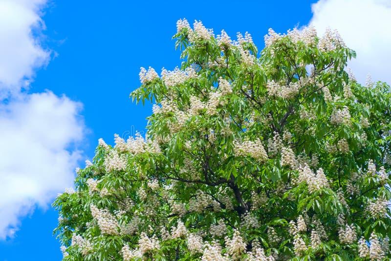 kastanjebruna blommor royaltyfria bilder