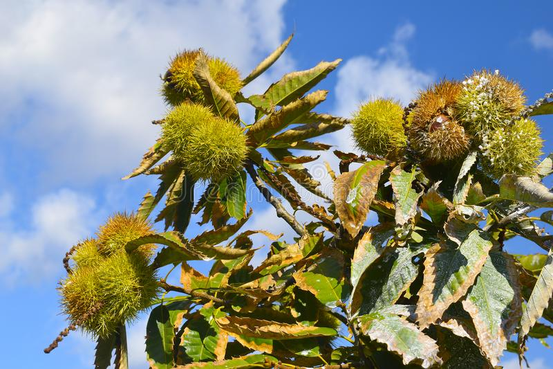Kastanjebruna filialer med frukter eller mogna kastanjer på blå himmel tillbaka arkivbilder