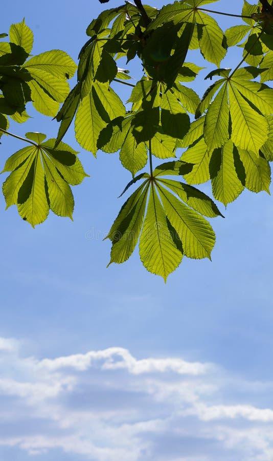 kastanjebruna leaves royaltyfria bilder