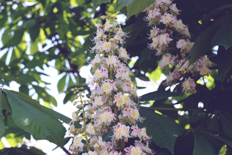 Kastanjebruna vita blommor i vår royaltyfri foto