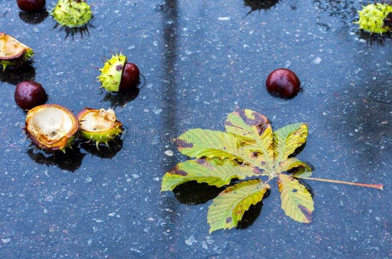 Kastanjebrunt blad och kastanjer Höstblad av en kastanj arkivfoto