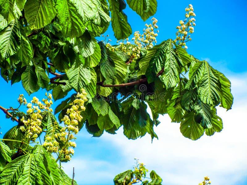 Kastanjebrunt träd för häst mot blå himmel royaltyfria bilder