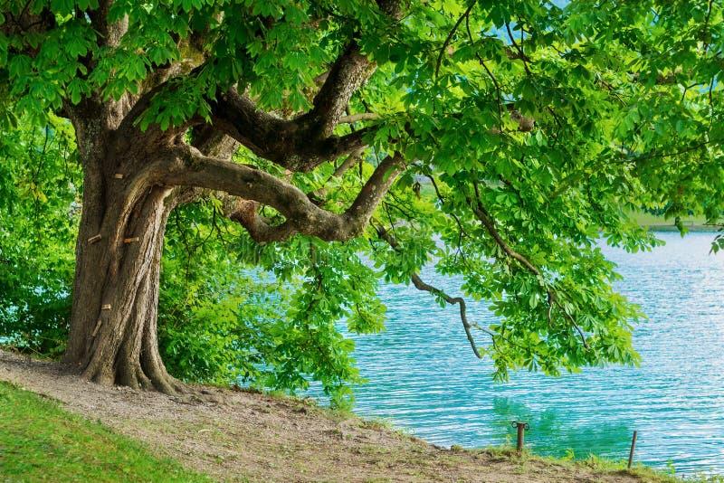 Kastanjebrunt träd för häst på den blödde kusten av sjön royaltyfri foto