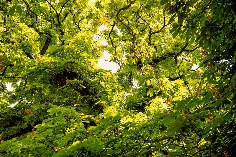 Kastanjebrunt träd med gräsplansidor i Prague, Tjeckien arkivfoto