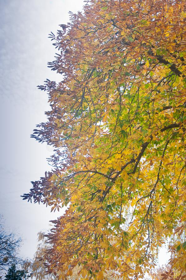Kastanjebrunt träd med gula höstsidor royaltyfria foton