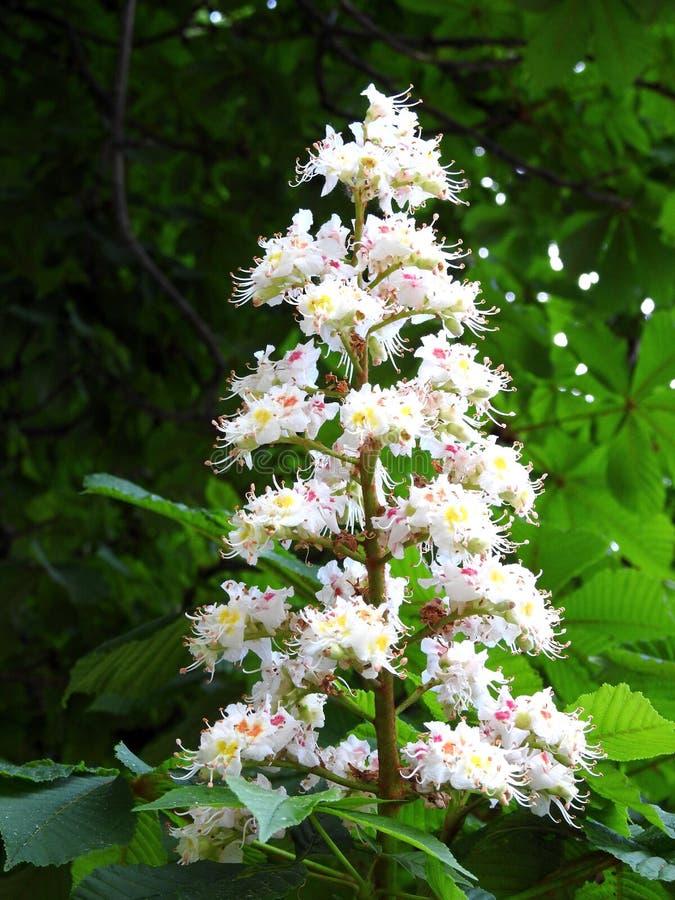Kastanjebrunt tr?d med vita blommor, Litauen arkivfoton