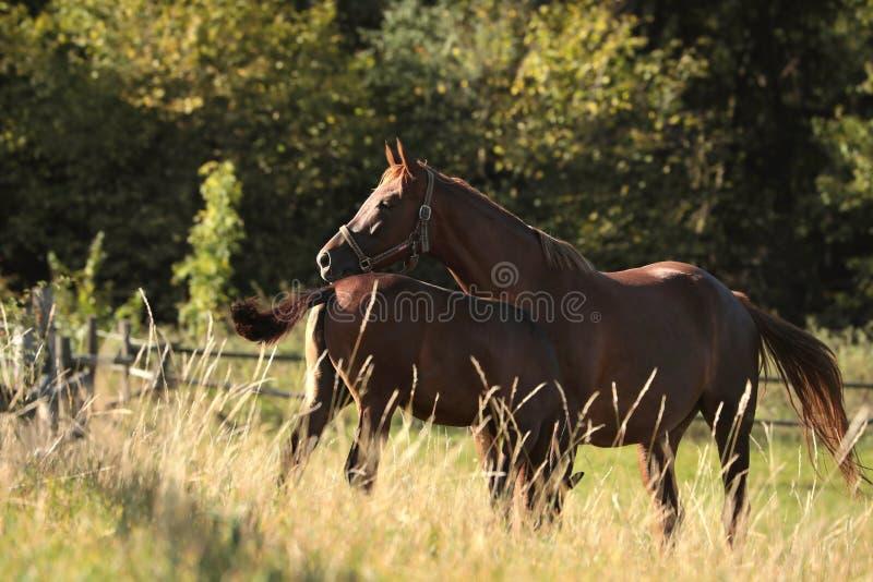 Kastanjepaard op een weide bij zonsopgang royalty-vrije stock foto's