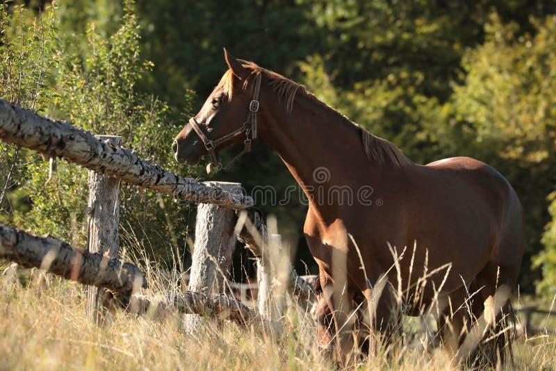 Kastanjepaard op een weide bij zonsopgang royalty-vrije stock fotografie