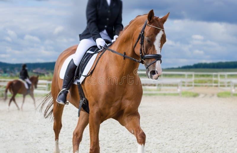 Kastanjepaard in opleiding stock foto