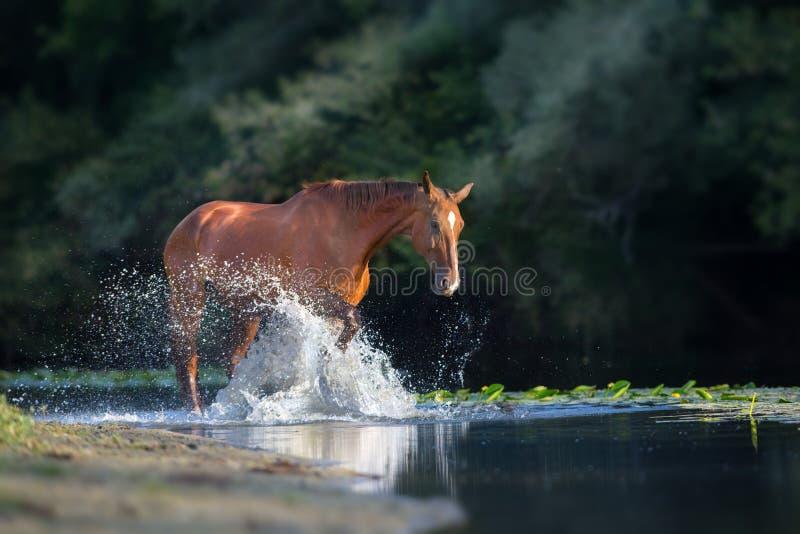 Kastanjepaard in rivier stock afbeeldingen