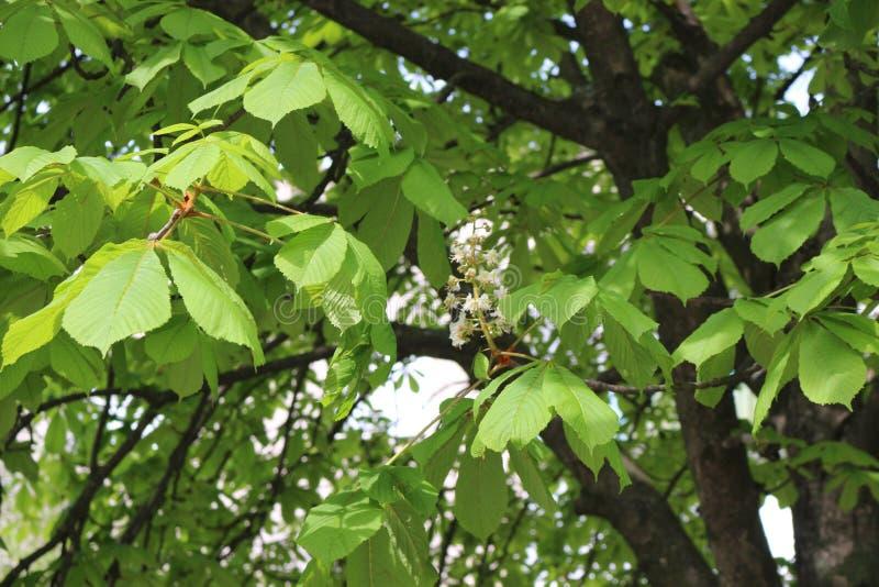 Kastanjer blommade vita blommor De kastanjebruna blomningarna ser som en stearinljus royaltyfri fotografi