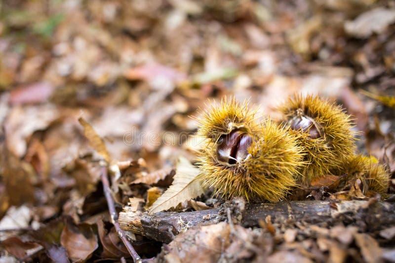Kastanjer i skogen fotografering för bildbyråer