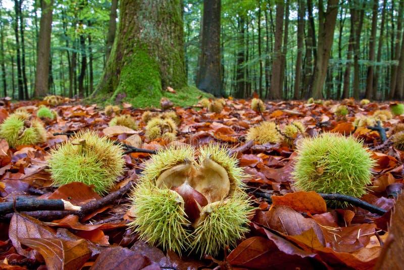 Kastanjes die op de grond in de herfst liggen stock fotografie
