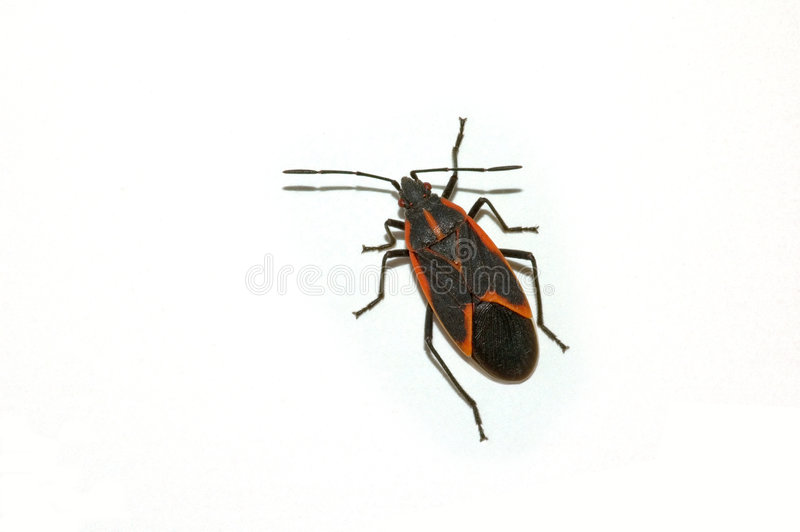 Kasten-Ältest-Käfer lizenzfreies stockbild