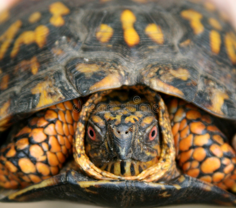 Kasten-Schildkröte. lizenzfreie stockfotos