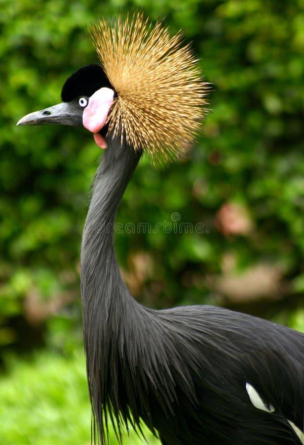 Kasuari Bird royalty free stock photos