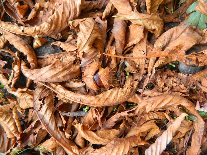 Kasztan jest w spadać żółtych liściach obraz stock