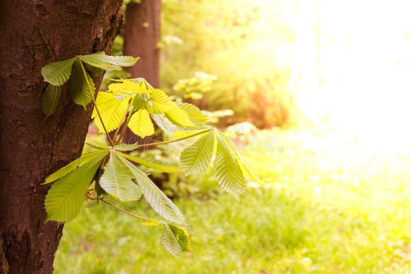 Kasztan przeciw tłu niebieskie niebo zakończenie up Horizontally Soczyści zieleni liście kasztan w obrazy stock