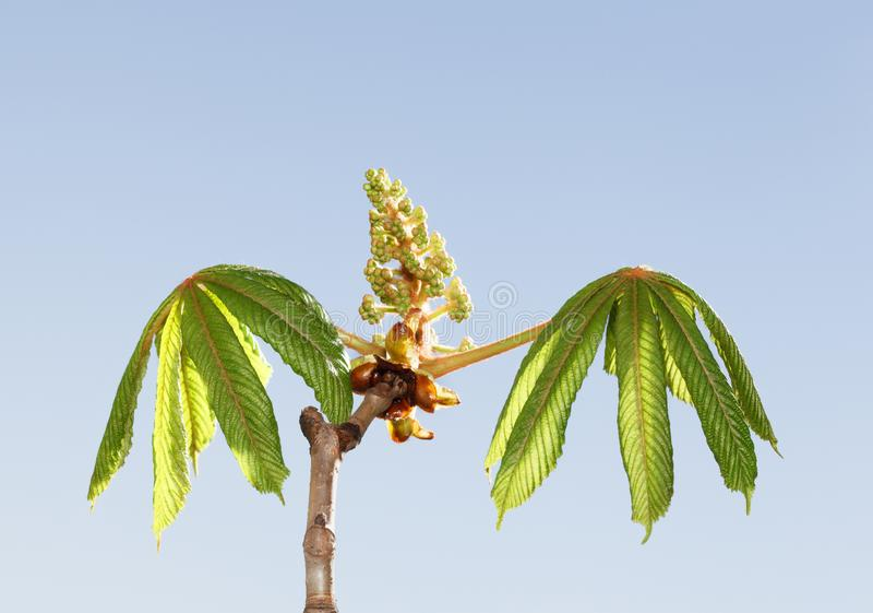 Kasztanowcowaty drzewo gotowy kwitnąć fotografia royalty free