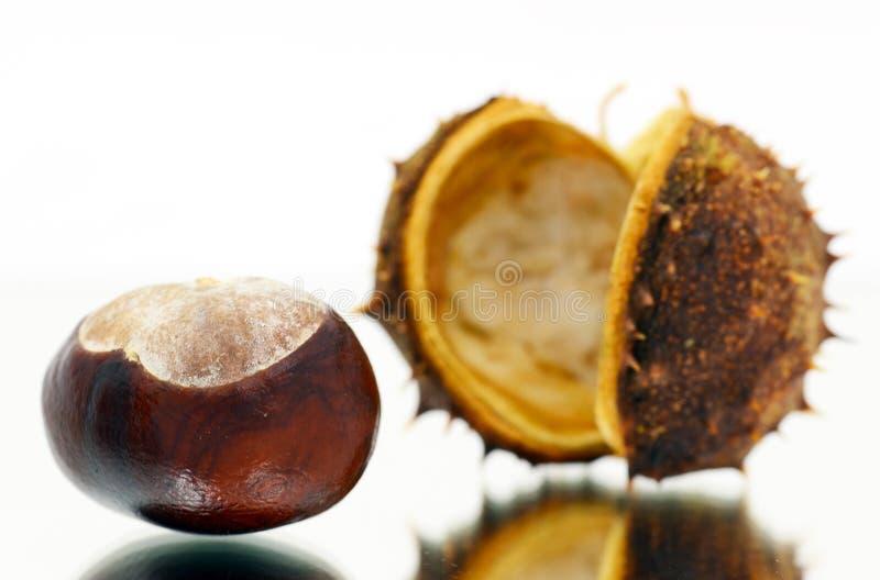 Kasztanowiec (conker drzewo) fotografia stock