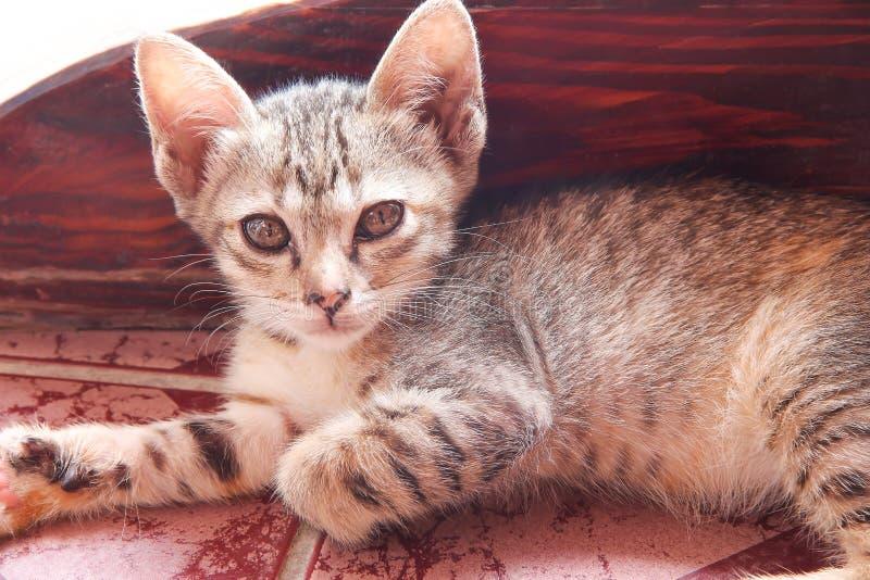 Kat babygrijs tabblad, verteerbaar op de tegelvloer en kijkend naar camera, een dier op de achtergrond stock foto's
