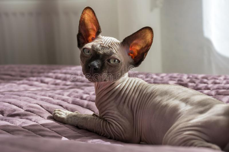 Kat, Canadees Sphynx-ras die op het bed, 1 één kale kat liggen stock foto